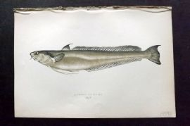 Couch 1877 Antique Fish Print. Blennoid Forkbeard 154